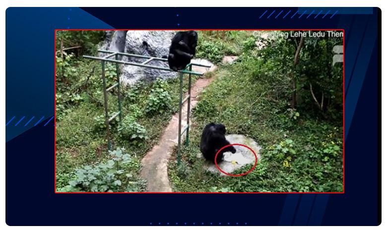 A chimpanzee at a zoo in China, ' ఉతుకో ఉతుకు !' అదిరిందయ్యా చింప్ ' దంచుడు ' !