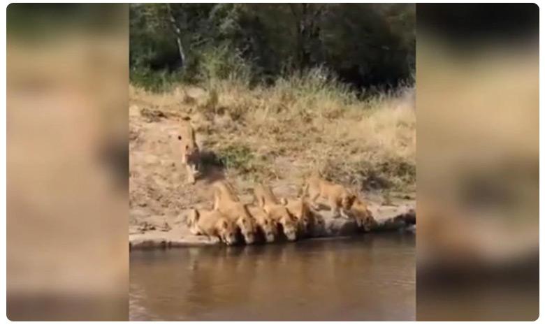 Pride of lions drink water from river, సింహాలు గుంపులుగానే కాదు.. వరుసగా కూడా ఉంటాయి..!