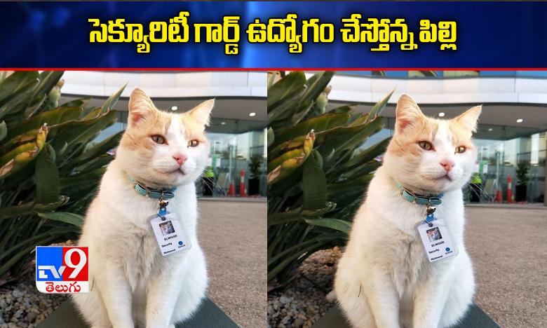 Cat got a security job in hospital at Australia, పిల్లిగారికి సెక్యూరిటీ ఉద్యోగం.. ఎక్కడంటే?