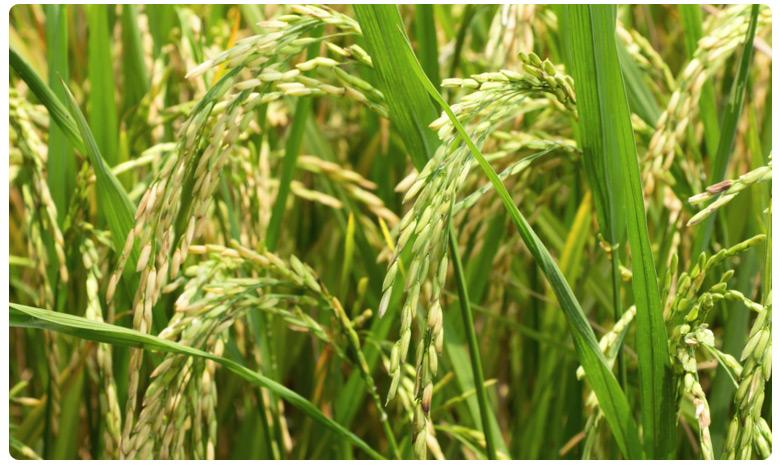 No Food Scarcity Rabi crop saves AP, ఆదుకున్న రబీ దిగుబడి.. రాష్ట్రానికి తప్పిన ఆహార ఇబ్బందులు..!
