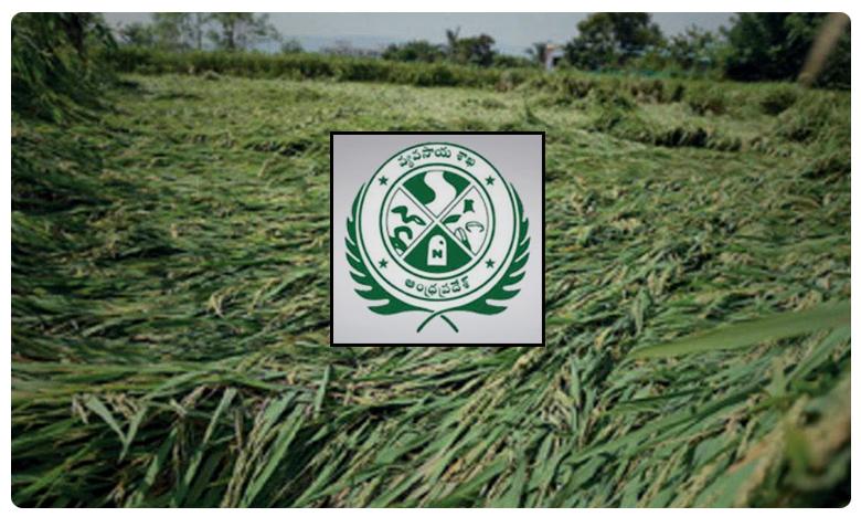 crop loss estimates ap agriculture department, ఆంధ్రప్రదేశ్ లో 71,821 హెక్టార్ల పంట నష్టం