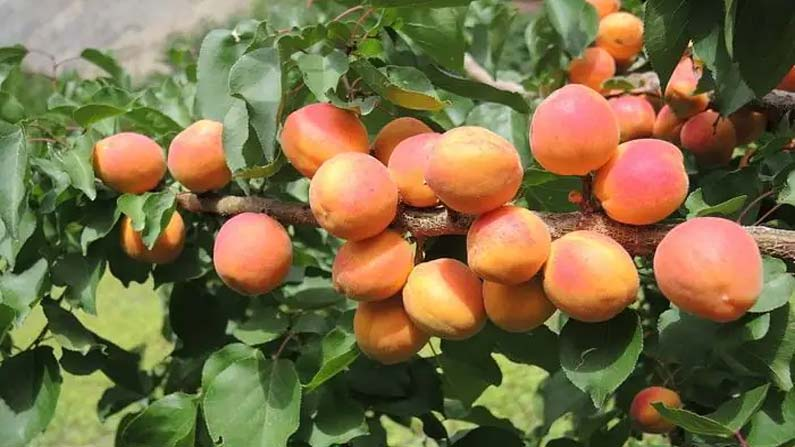 Apricot Blossom Festival