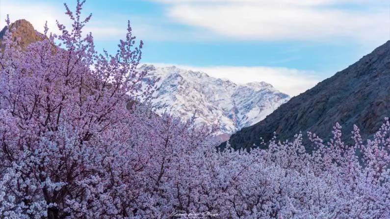 Ladakh Apricot Blossom Fest