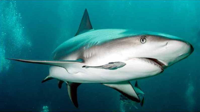 Shark Fish 2