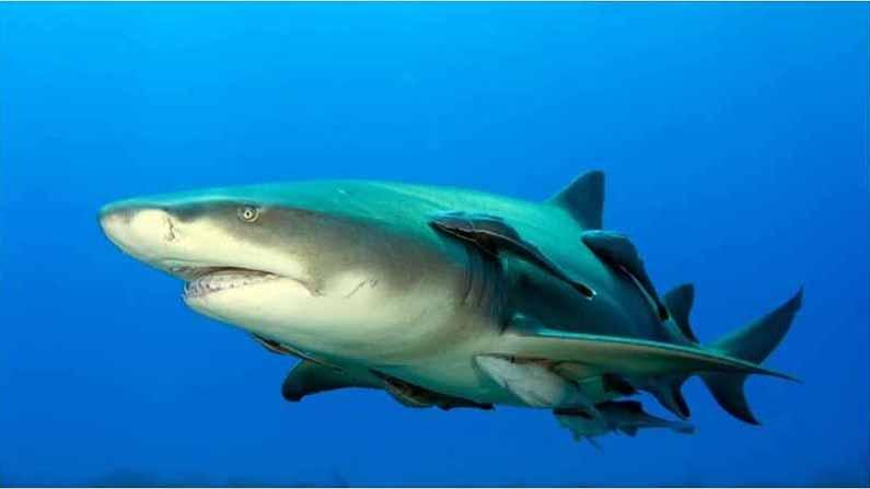 Shark Remora 2