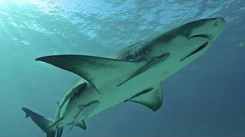 Shark Remora 3