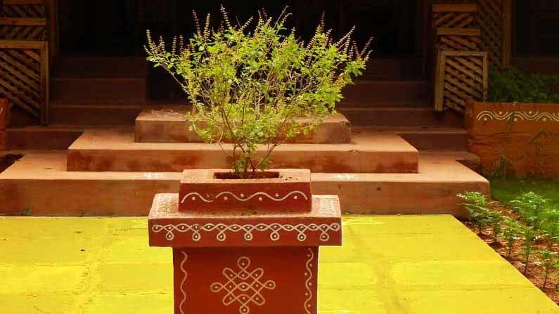 Tulasi Plant 1