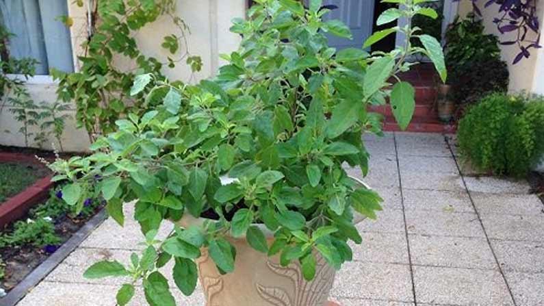 Tulasi Plant 2