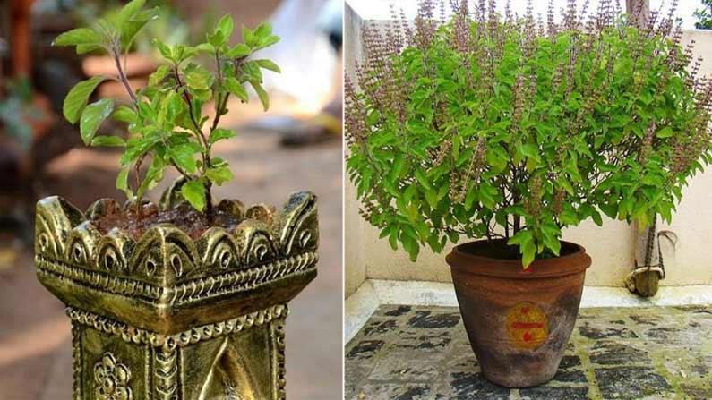 Tulasi Plant 5
