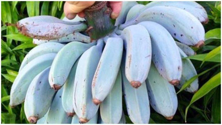 Blue Banana 3