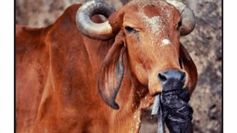 Cows: Cows can digest plastic. For that, they've a particular association of their abdomen.